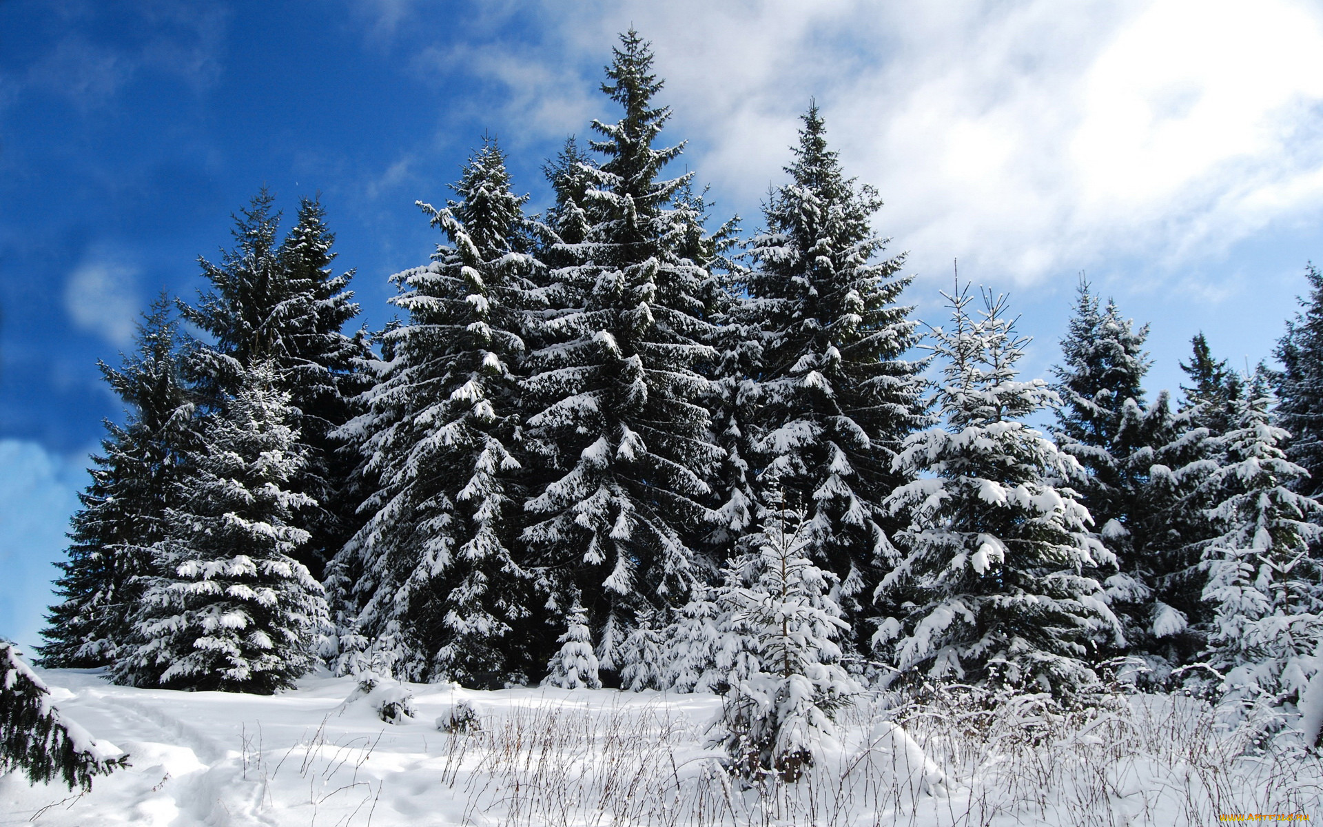 фото красивые ели под снегом ходом времени эти